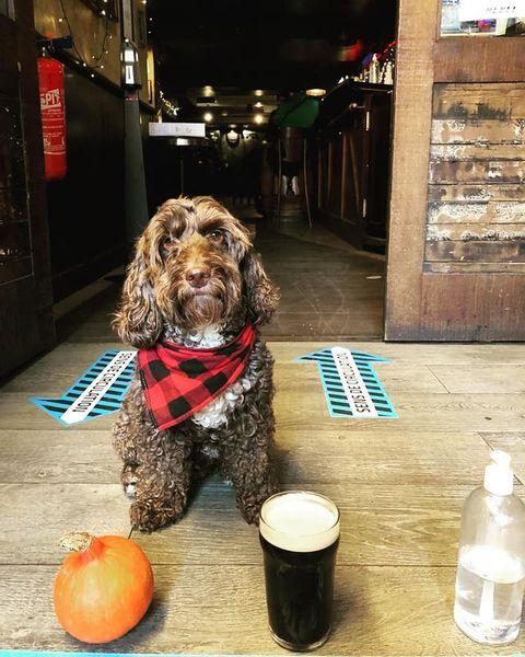 Nous sommes toujours fermés à #pigalle mais pas à #chatelet ! . 😎 Si vous ne connaissez pas la célèbre mascotte du @osullivanschatelet c'est le moment. Riley vous accueille ! #rebelstarterpack @rileythecockapooo . 🍻 #happyhour #allday 🌮 #food  🏆#watchthegame #rugby #sixnations 16h30 🇨🇮 vs 🇮🇹 . Riley est impatient de boire une bonne #biere avec vous pour le #match !  #irishpub #sportbar  #rugbytime #ireland #italy #pubbing #haloween