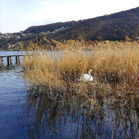 Der Seekönig ist heute bei uns zu Besuch. Er liebt das Schilf rechts von unserem Steg, das sich hervorragend als Schlafstätte und Nistplatz eignet!  . #schwäne #schwan #perfectnature #biodiversität #biodiversity #biodiversité #biodiversità #nistplatz #nachhaltigkeitimalltag #seevögel #seevogel #seevogelschutz #malcantone #luganoregion #wirliebendienatur #inlovewithswitzerland #ig_cantonticino