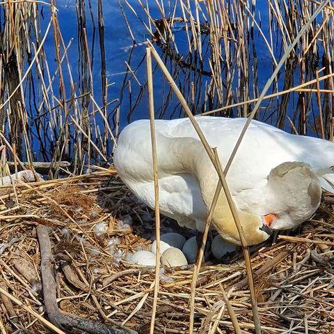 Gut Ding braucht Weile. Und wir können es kaum erwarten, dass die neu geborenen  kleinen Schwänchen sich in unserem Park tummeln! 🦢 ❤️ . #wundervollenatur #schwanenküken #schwanen #küken #biodiversität #cigni #cignibianchi #cucciolidicigno #malcantoneticino #luganersee #lagodilugano #cantonticino #visitticino #visitlugano #ticinomoments #ceresio #birdphotography #birds_captures #birdofinstagram #inlovewithnature #nature_perfection